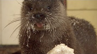 Man Becomes Friends With Otter