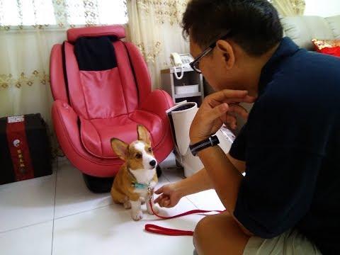 Dogs Training Singapore - Lexie Corgi Snowy Spitz