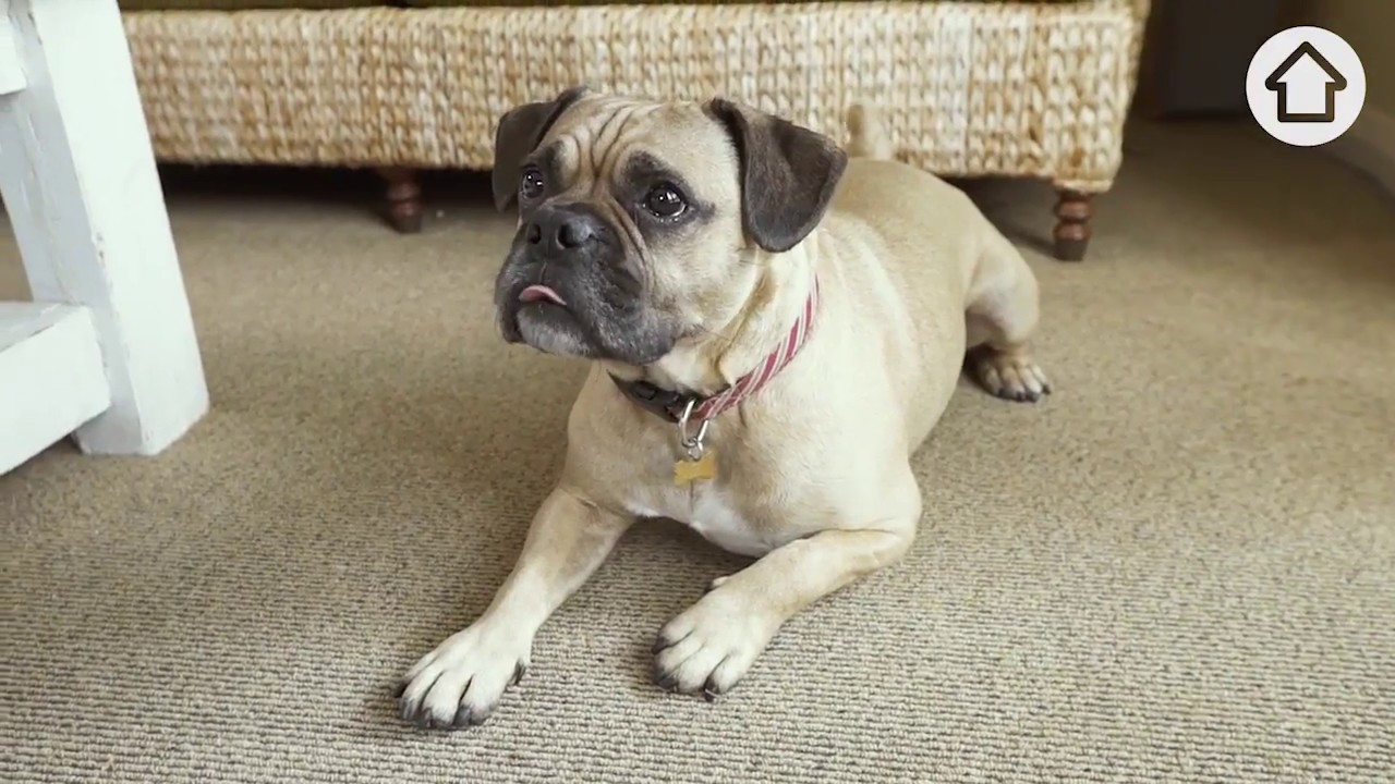Cleaning Hacks How To Remove Pet Urine From Your Carpet