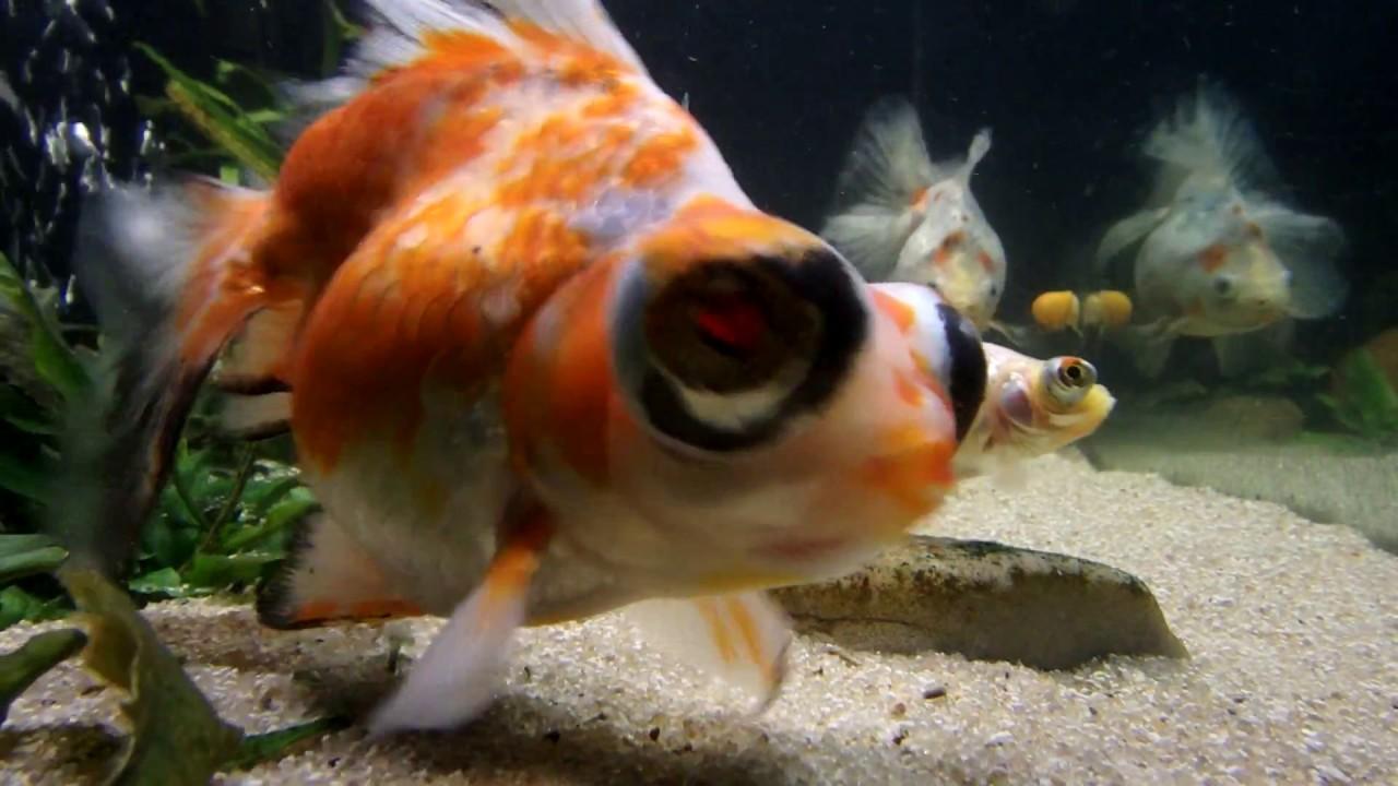 Freshwater aquarium fish water change - First Water Change On Gold Fish Aquarium How I Do My Water Changes A Little Differnt