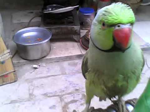 Talking Parrot sindhi._0008.3GP