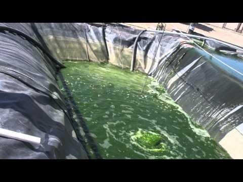 Algae: The Future of Biodiesel