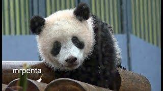 今日のシャンシャン 3月22日 上野動物園 香香 パンダ