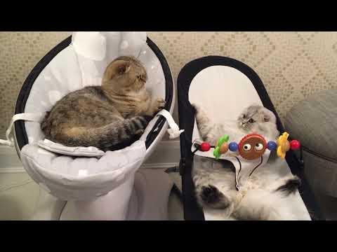Scottish fold cats funny video