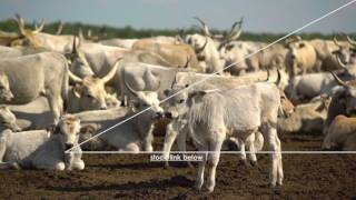 Hungarian Grey cattle 4K - TOP SELLING - STOCKVIDEO