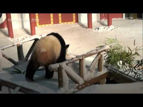 แพนด้าในโดมหิมะ  | สวนสัตว์เชียงใหม่