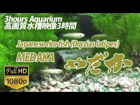【水槽映像】メダカアクアリウム 高画質 FullHD