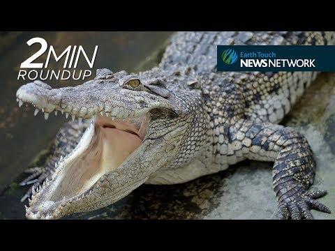 Siamese crocs, elephant rescuers & a rare ocelot hunt