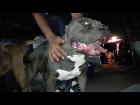 Bully Extreme Silver Semental en Guadalajara