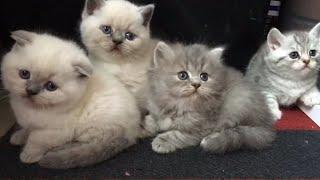 Любопытные котята (шотландцы 1 месяц)
