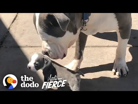 Half-Pound Pittie Puppy Grows Up with His 90-Pound Foster Brother | The Dodo Little But Fierce