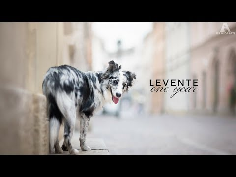 Levente - border collie ONE YEAR ♥