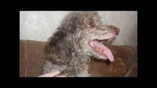Средний пудель одна из самых умных пород собак в мире