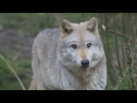 Meet Our Wolves: Calow | WWUK