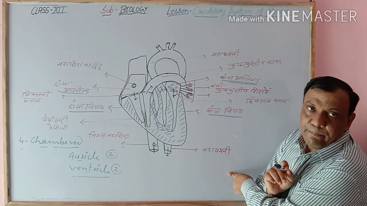 Class 12 RBSE circulatory system of human ( diagram of ...