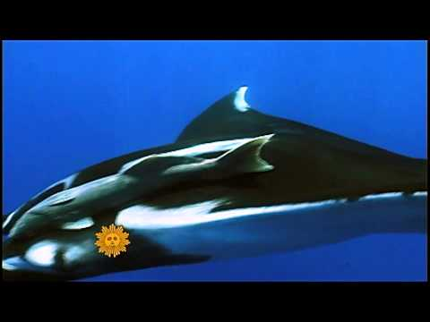Nature  Giant manta rays in Mexico