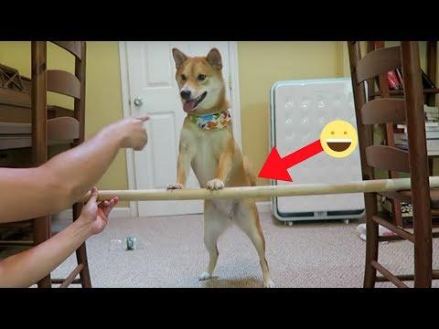 TRAINING SHIBA DOG TO JUMP HIGH!