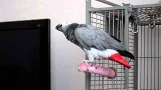 My Name Is Bond, James Bond - Lottie my African Grey Parrot