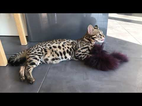 F1 bengal cat playing with fur / asian leopard cat hybrid  1st generation