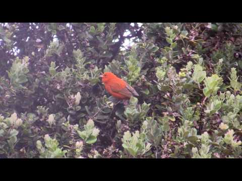 Endemic Birds in Hakalau Forest on the Big Island of Hawaii