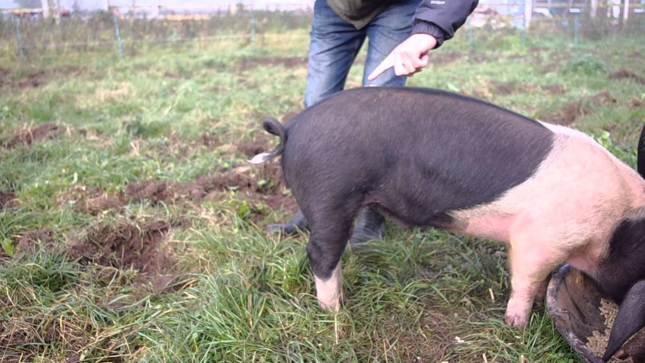 How to straighten a pigs tail!