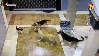 Mama cat chases stray dogs to protect her kitten