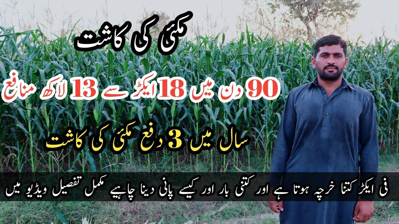 Download Maize Farming in Pakistan   Hybrid Maize Cultivation   مکئی کی کاشت اور آمدن و اخراجات کی مکمل تفصیل