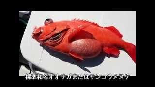 マイボートで近場のアコウダイ釣り 超深海別魚種編その2