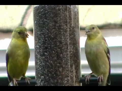 American Goldfinch wild canary closeup at backyard niger seed feeder