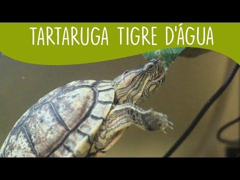 5-coisas-que-você-precisa-saber-sobre-a-tartaruga-tigre-d'Água---minha-fauna