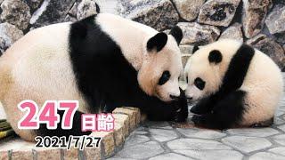 【パンダの赤ちゃん(楓浜)】今日は何して一緒に過ごす?(247日齢)
