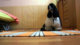 American Cocker Spaniel - obedience training