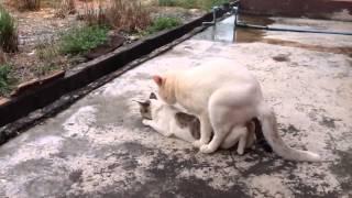 การผสมพันธุ์แมว