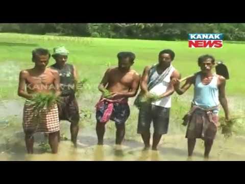 Farmers In Tension As Heavy Rain Affects Rice Crops In Jagatsinghpur
