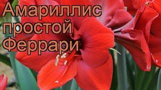 видео Купить луковицы амариллиса (гиппеаструма) в Одессе, Киеве и по всей Украине