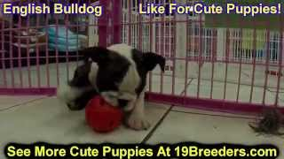 English Bulldog, Puppies, For, Sale, In, South Bend, Indiana, County, In, Allen, Hamilton, St  Josep