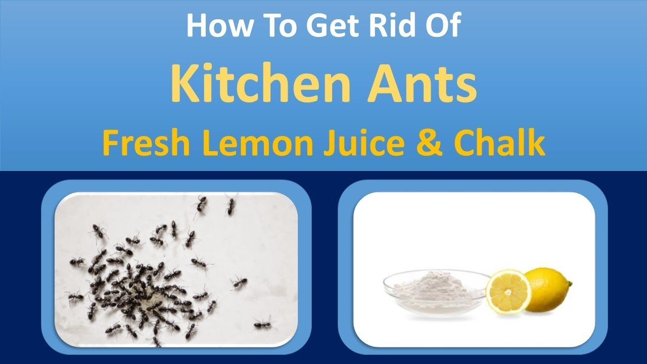 How To Get Rid Of Kitchen Ants | Fresh Lemon Juice U0026 Chalk Home Remedy