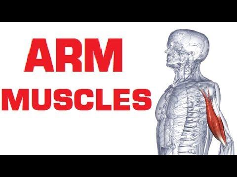 Arm Muscles Anatomy - Anterior (Flexor) Compartment - YouTube