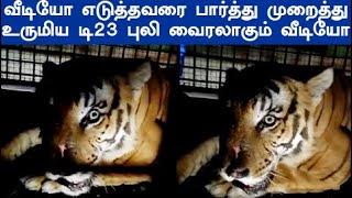 மைசூர் Zoo வில் கூண்டிலிருந்து விடுவிக்கப்பட்ட டி23 புலி வைரலாகும் வீடியோ T23 tiger latest video