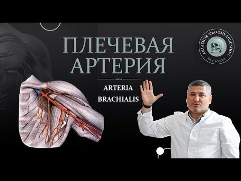 Артерии верхней конечности. Плечевая артерия