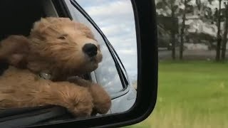 Puppy Puts Head Out Car Window for the First Time | The Dodo