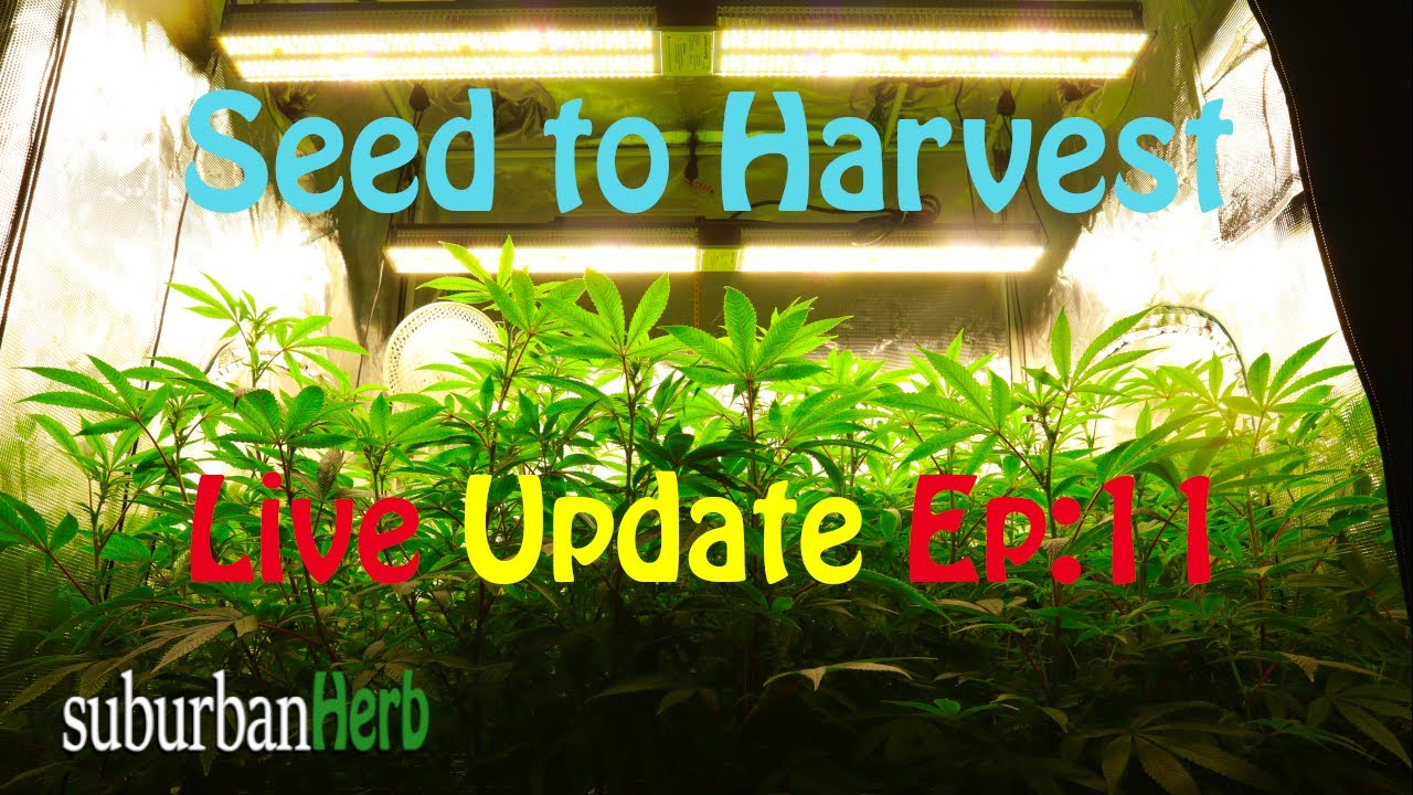 Download Gorilla Glue #4 cannabis grow. Seed to harvest: ep.11. Major defoliation for the Mars Hydro Cup
