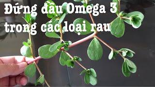 Rau sam có hàm lượng vitamin khá nhiều |Purslane (Portulaca Oleracea)| NT#109
