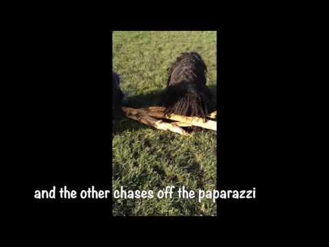 Pulice Tactics 101 (Hungarian Puli Police)