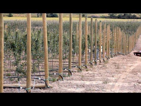 Building Strong Apple Orchard Trellises | Ériger des treillis solides pour les vergers