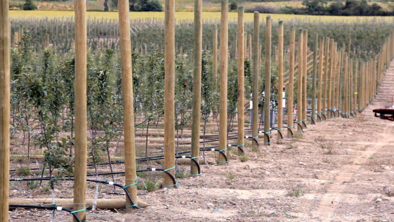 Building Strong Apple Orchard Trellises   Ériger des treillis solides pour  les vergers