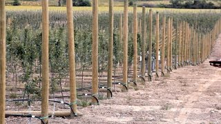 Building Strong Apple Orchard Trellises | Ériger des treillis solides pour les vergers