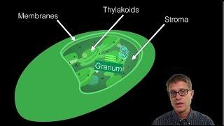 The Chloroplast