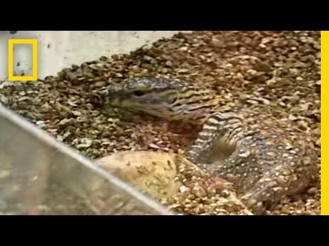 Komodo Dragons | National Geographic