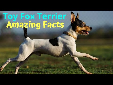 Toy Fox Terrier | amazing facts in hindi | Animal Channel Hindi